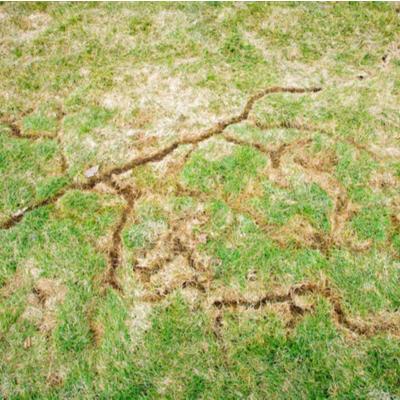 vole damage to a lawn